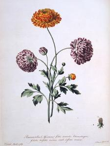 Ranunculus, Illustration from 'The British Herbalist', 1769 by John Edwards