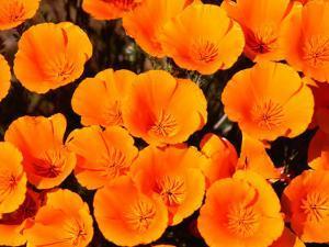 California Poppy Reserve, Antelope Valley, California by John Elk III