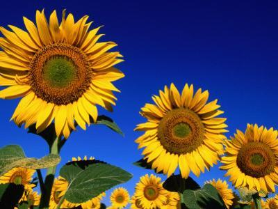 Detail of Sunflowers, Tuscany, Italy