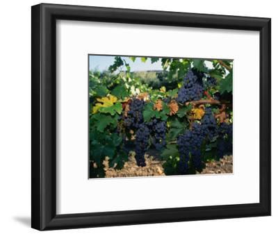 Grapes Growing at Mirassou Vineyards, San Jose, USA