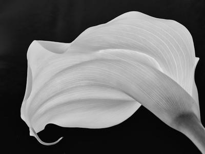 Backlit Calla Lily by John Ford