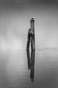 New Zealand, Asia, Seagull on Piling by John Ford