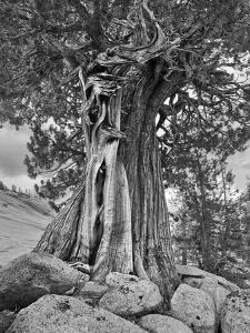 USA, California, High Sierra Juniper by John Ford