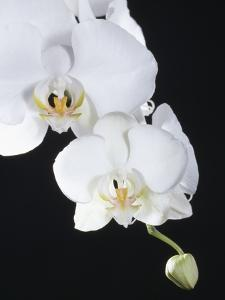 White Orchid by John-Francis Bourke