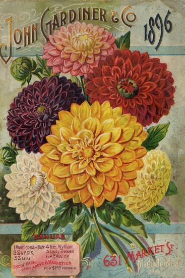 John Gardiner and Co. 1896: Dahlias--Premium Giclee Print