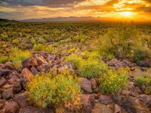 Brittlebush Sunset by John Gavrilis