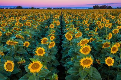 Dawn Sunflowers