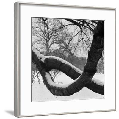 Curving Tree Branches Forming a Loop Covered in Snow in a Snowy Landscape at Kew, Greater London