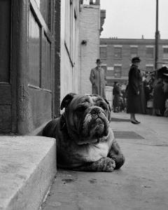 Lazy Bulldog at Camden Town by John Gay