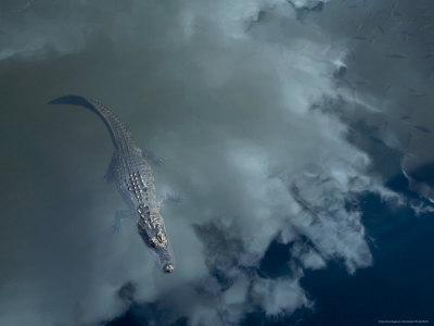 Alligator with Fish, Sky Reflection