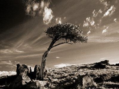 Bristle Cone Pine Tree, Mt. Evans, CO