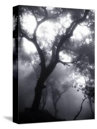 Mist Filled Forest