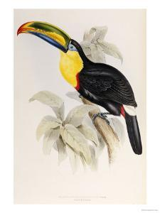 A Monograph of the Ramphastidae or Family of Toucans, 1834 by John Gould