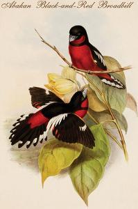 Abakan Black-And-Red Broadbill by John Gould