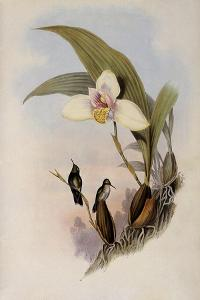 Abeille's Flutterer, Myiabeillia Typica by John Gould
