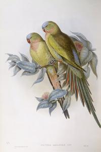 Alexandra's Parrot (Polytelis Alexandrae) by John Gould