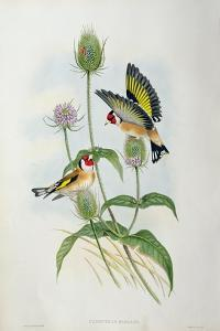 Goldfinch (Carduelis Elegans) by John Gould and H.C. Richter