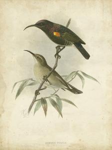 Antique Gould Hummingbird II by John Gould