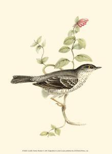 Barred Warbler by John Gould