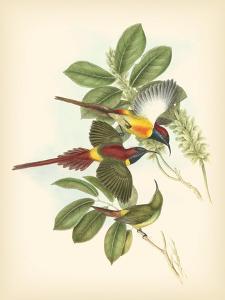 Birds of the Tropics III by John Gould