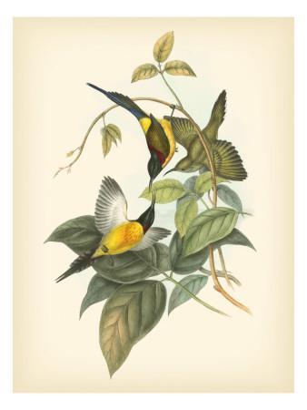 Birds of the Tropics IV