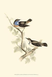 Blue-Throated Warbler by John Gould