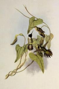 Broad-Tailed Flame-Bearer, Selasphorus Platycercus by John Gould