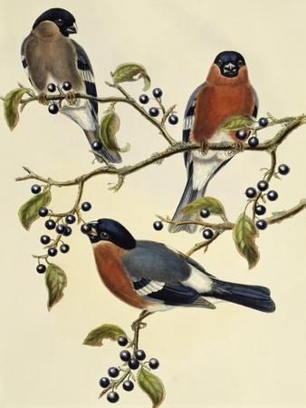 Bullfinch (Pyrrhula Pyrrhula) (1804-1881). United Kingdom, 19th Century