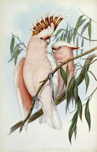 Cacatua Leadbeateri, 1848-1869 by John Gould
