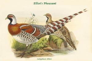 Calopphasis Ellioti - Elliot's Pheasant by John Gould