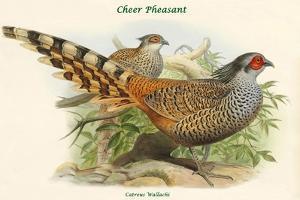 Catreus Wallachi - Cheer Pheasant by John Gould
