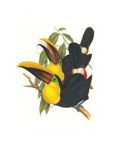 Choco Toucan by John Gould