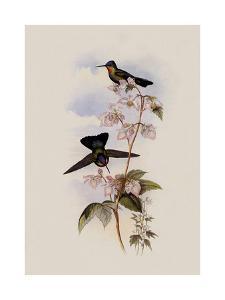 Costa Rican Hummingbird, Panterpe Insignis by John Gould