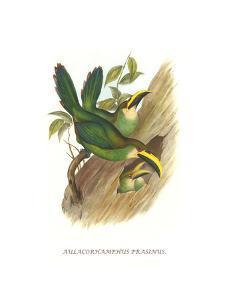 Emerald Toucanet by John Gould