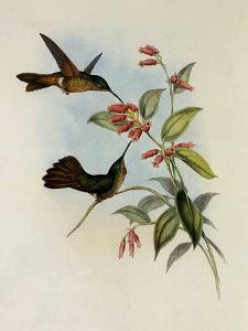 Equatorial Lilac-Throat, Phaiolaima Aequatorialis by John Gould