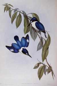 Forest Kingfisher (Halcyon Macleay) by John Gould