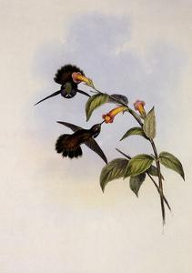 Geoffroy's Wedge-Bill, Schistes Geoffroyi by John Gould