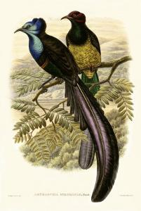 Gould Bird of Paradise I by John Gould