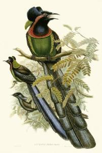 Gould Bird of Paradise II by John Gould