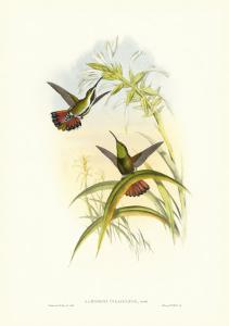 Gould Hummingbird I by John Gould