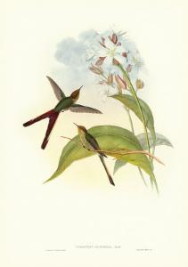 Gould Hummingbird III by John Gould