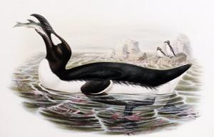 """Great Auk, Alca Impennis, from """"The Birds of Great Britain"""" by John Gould"""