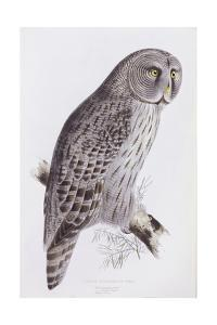 Great Cinereous Owl, from 'The Birds of Great Britain', Published London, 1862-73 by John Gould