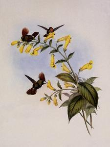 Great-Crested Coquette, Lophornis Regulus by John Gould