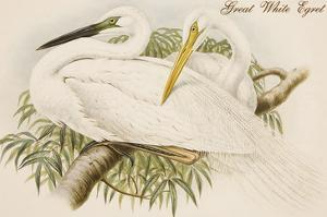 Great White Egret by John Gould