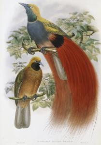Grey Chested Bird of Paradise by John Gould