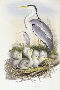 Grey Heron (Ardea Cinerea) by John Gould