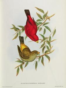 Haematospiza Sipahi, Illustration from 'Birds of Asia', Vol. I, Parts I-Vi,By John Gould, 1850-54 by John Gould