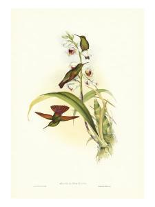 Hummingbird II by John Gould
