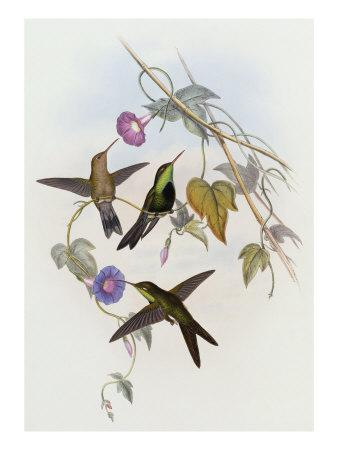 Hummingbirds, Sporadinus Elegans, Family of Humming-Birds